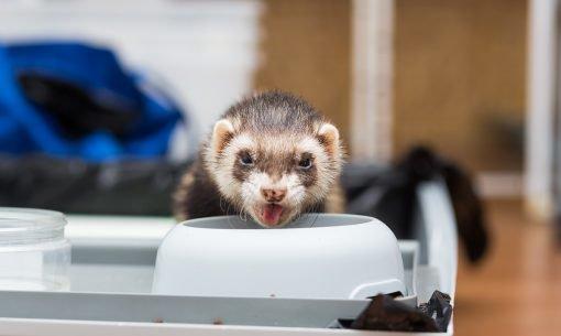 ferret feeding from bowl