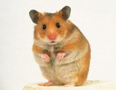 syrian-hamster