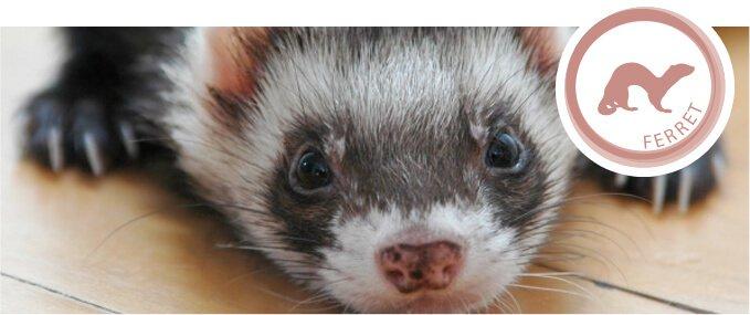 ferrets-feeding-guide