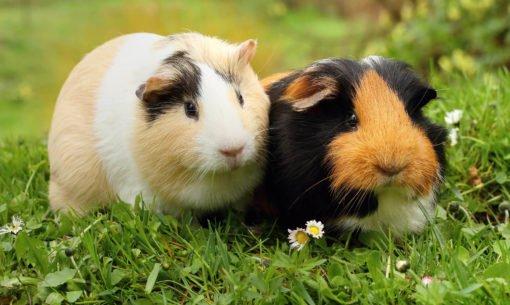 Two Guniea Pigs In A Field