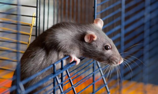 Rat peeping out of cage