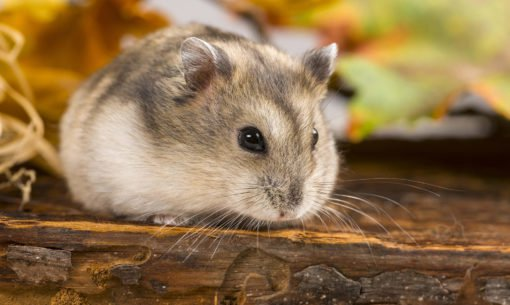 Russian Hamster Close Up