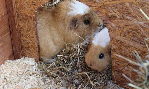 Guinea-Pig0Hutch