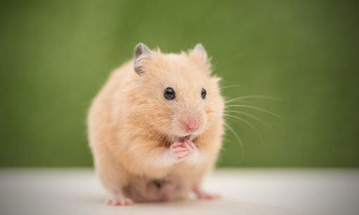 Grooming Hamster