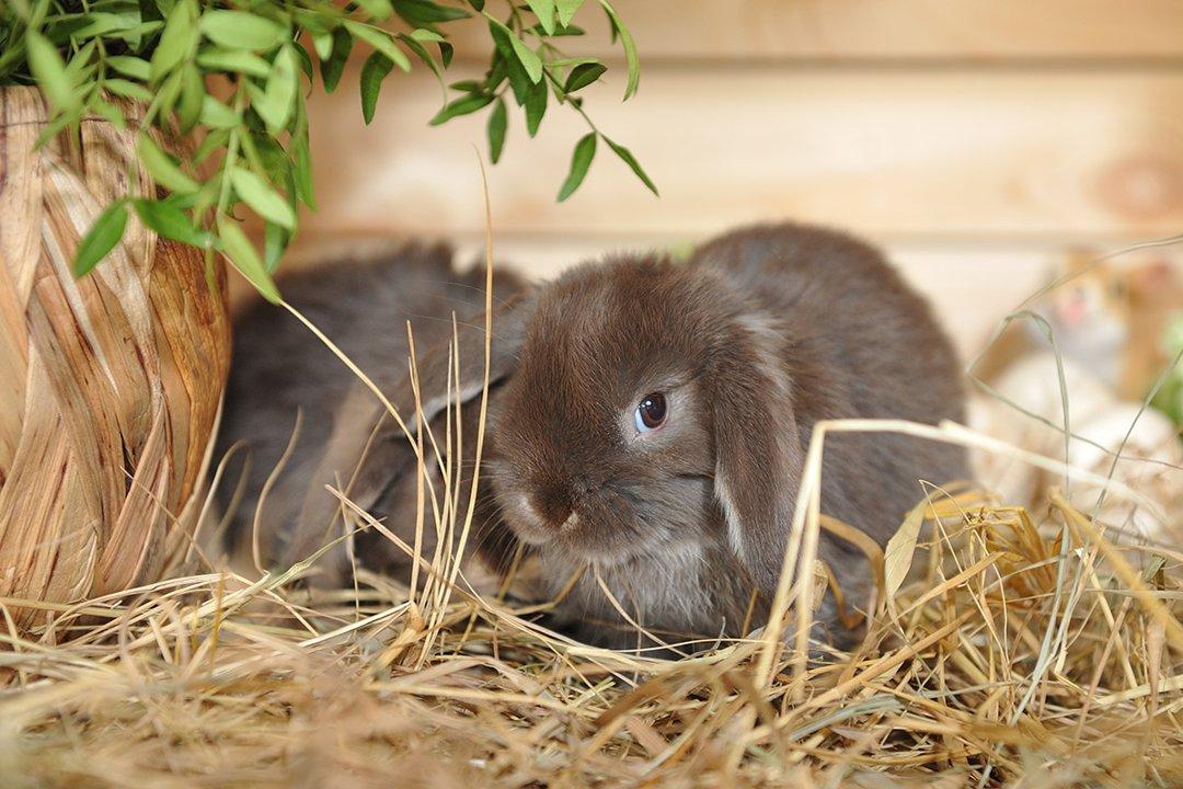 brown-rabbits-hay-pair