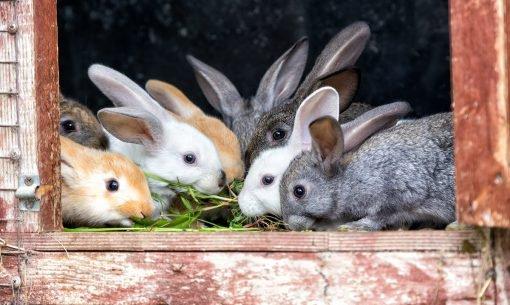 Keeping-Rabbits-Cle