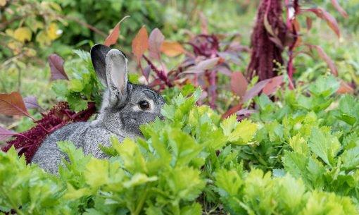 rabbit vegetables