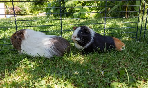 guinea pig in shade
